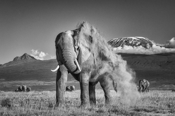 ELEPHANT DUST BATH, Amboseli, 2011