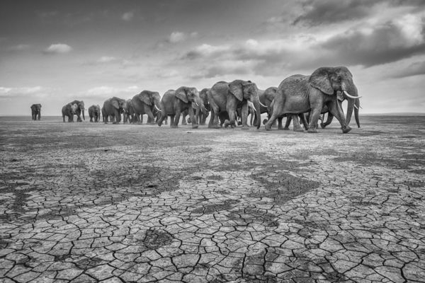 ELEPHANTS ON CRACKED SOIL, Amboseli, 2012