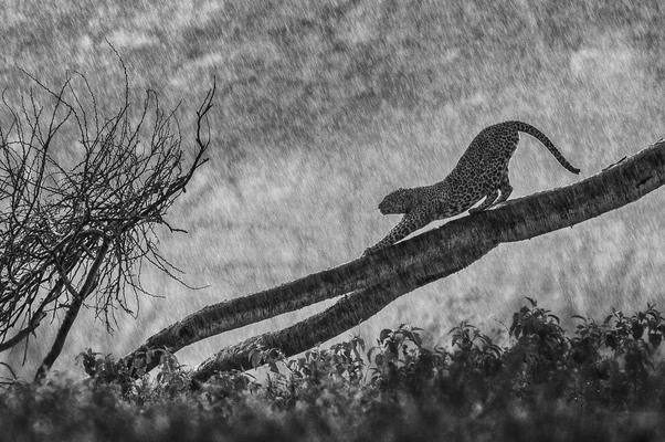 LEOPARD IN THE RAIN, Lake Nakuru, 2010