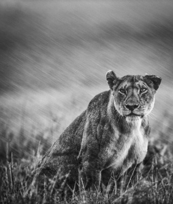 PORTRAIT OF LIONESS IN HEAVY RAIN, Masai Mara, 2012