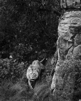 LION AND ROCKY OUTCROP, Lake Nakuru, 2011