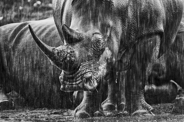 WHITE RHINOCEROS IN THE RAIN, Lake Nakuru, 2011