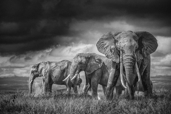 THREE ELEPHANTS AND DARK SKY, Amboseli, 2011