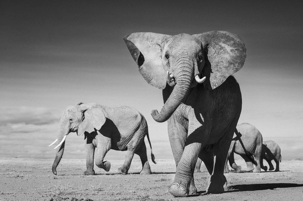 ELEPHANTS ON BARE PLAINS, Amboseli, 2011