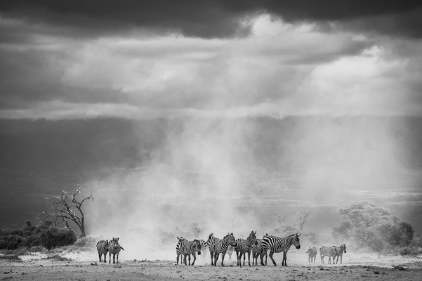 ZEBRAS IN THE DUST, Amboseli, 2012