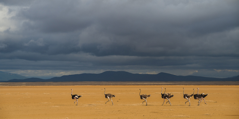 OSTRICHES ON DRY LAKE, Amboseli, 2011