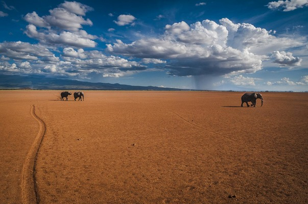 ELEPHANT BULLS ON DRY LAKE, Amboseli, 2011