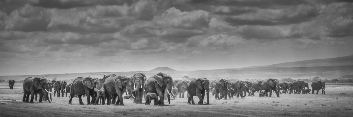 ELEPHANTS ADVANCING, Amboseli, 2012