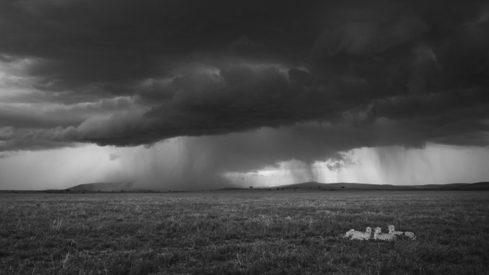THREE CHEETAHS AND THUNDERSTORM, Masai Mara, 2019