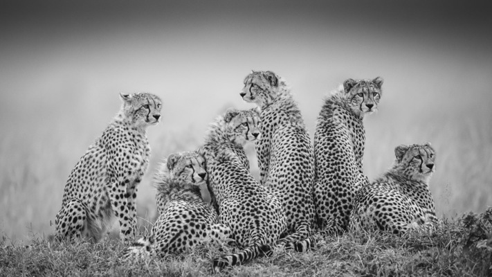 SIX YOUNG CHEETAHS, Masai Mara, 2011