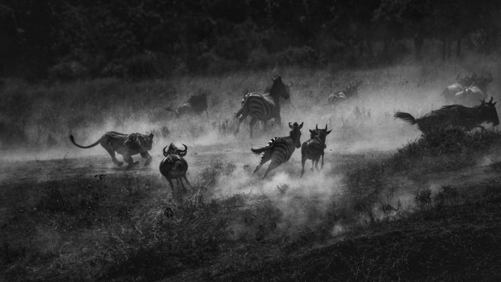 AMBUSH AT THE RIVER, Masai Mara, 2018