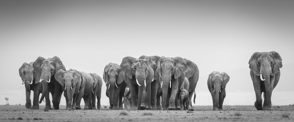 ELEPHANT FAMILY WALKING, Amboseli, 2012