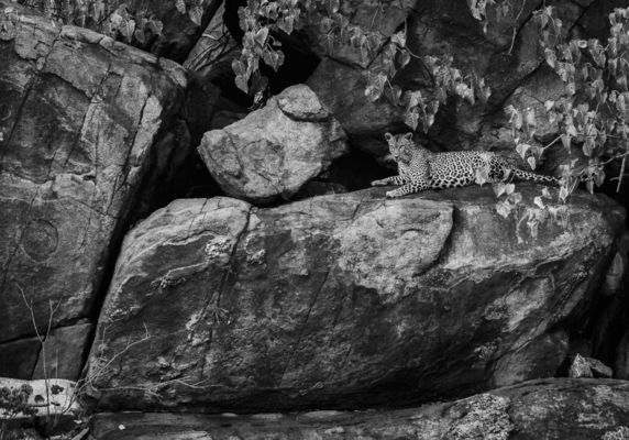 LEOPARD ON ROCKS, Tsavo West, 2009