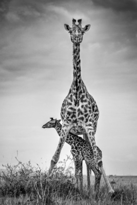 GIRAFFE AND NEWBORN CALF, Masai Mara, 2014