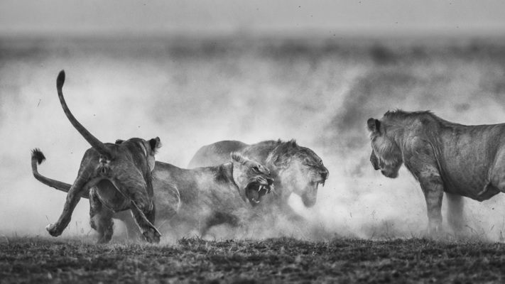 DUSTBOWL FIGHT, Amboseli, 2015