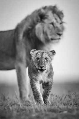 LION CUB AND FATHER, Masai Mara, 2008