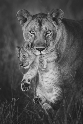 LIONESS CARRYING CUB, Masai Mara, 2013