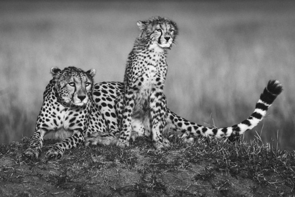 CHEETAH MOTHER AND SINGLE CUB, Masai Mara, 2018