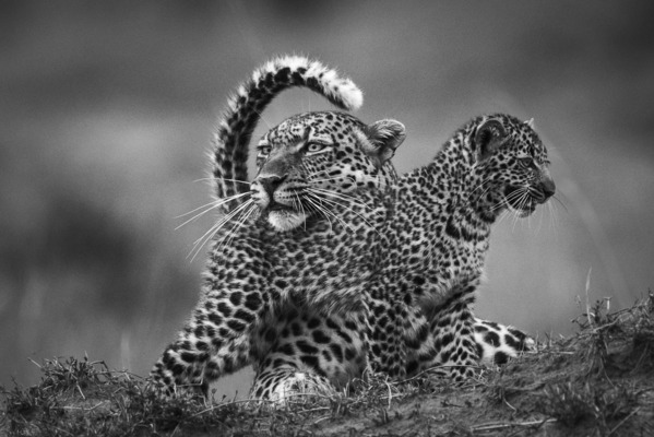 AFFECTION, Masai Mara, 2015