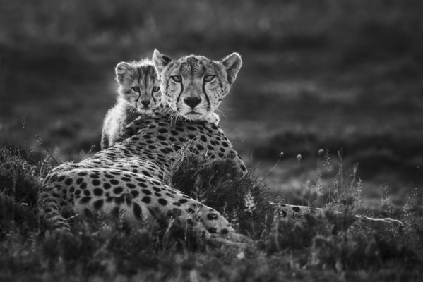 CHEETAH AND SHY CUB, Serengeti, 2015