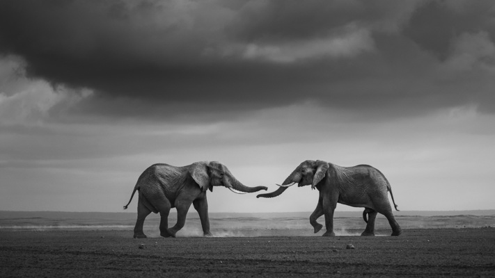 ENCOUNTER ON THE DRY LAKE, Amboseli, 2011