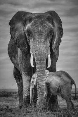 PROTECTION, Amboseli, 2012