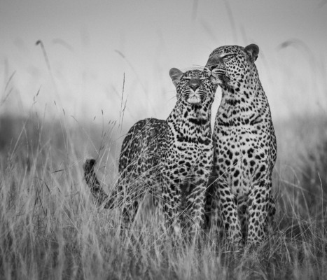 YOUNG LEOPARD GREETING MOTHER, Masai Mara, 2018