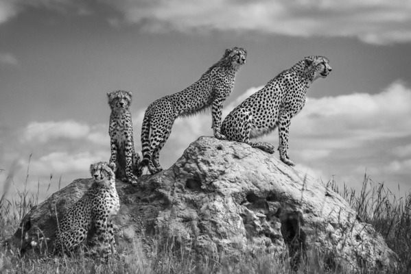 FOUR CHEETAHS ON TERMITE MOUND, Masai Mara, 2013
