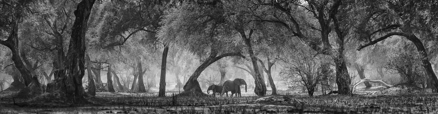 ELEPHANTS IN ENCHANTED WOODLAND, Mana Pools, 2016